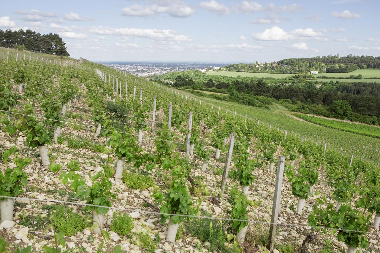 Vignoble cépage Chardonnay © Grand Dijon